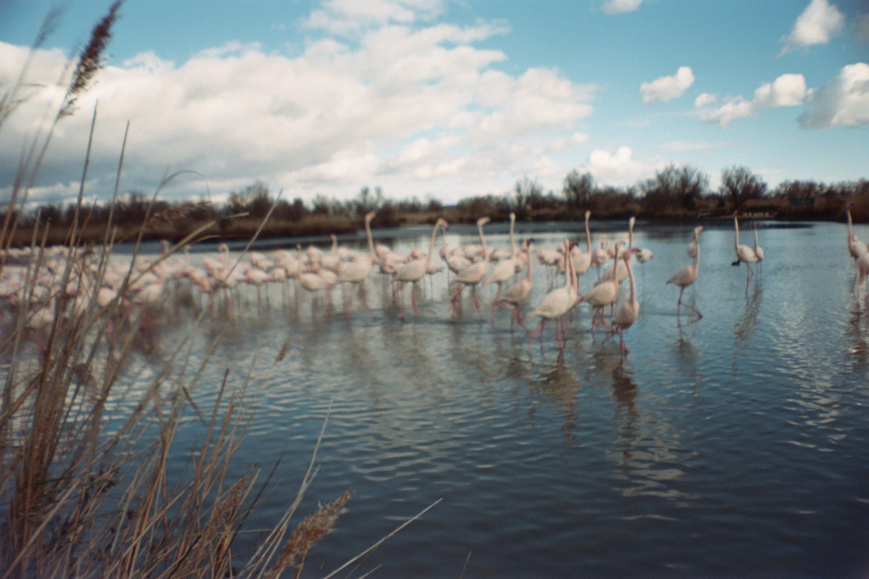 Flamingo / Camargue - Sardina Lomography x Kodak Portra 500